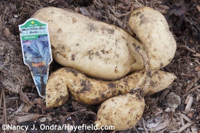 Ipomoea batatas Blackie roots at Hayefield.com
