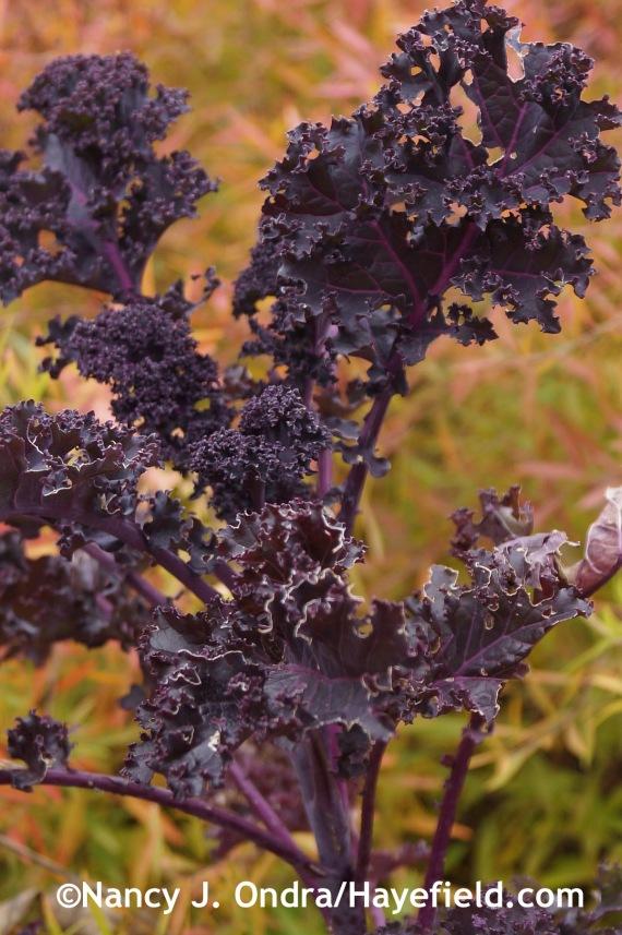 Kale Redbor at Hayefield.com