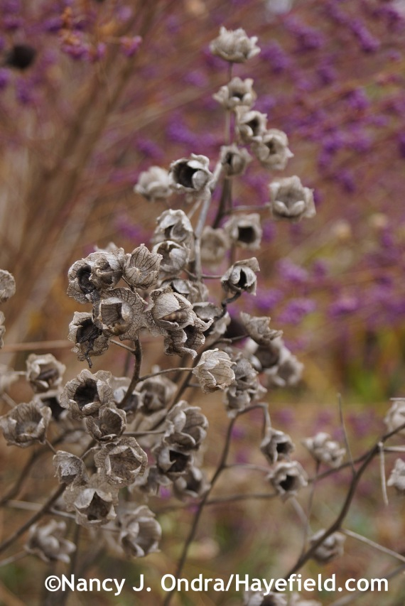 Annual mallow (Lavatera trimestris) seedheads [November 13, 2014]