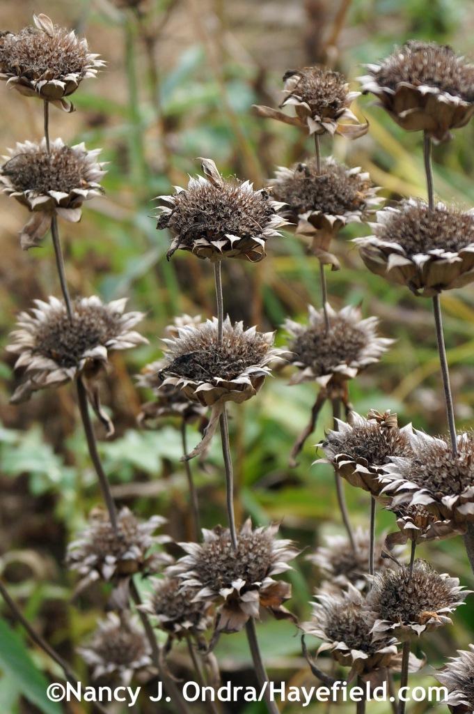 Monarda Bergamo seedheads at Hayefield.com