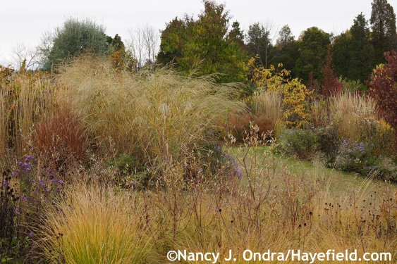 Panicum amarum in The Shrubbery at Hayefield.com