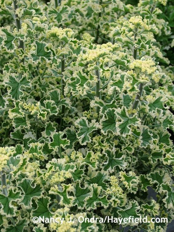 Pelargonium crispum Variegatum at Hayefield.com