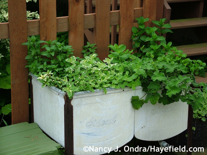 Pelargonium graveolens and Menta collection in washtub at Hayefield.com