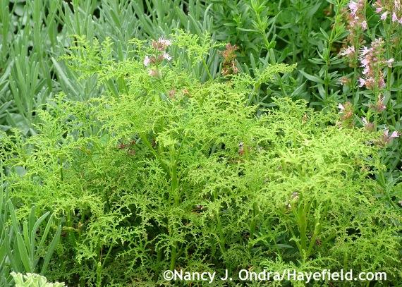 Pelargonium denticulatum 'Filicifolium' at Hayefield.com