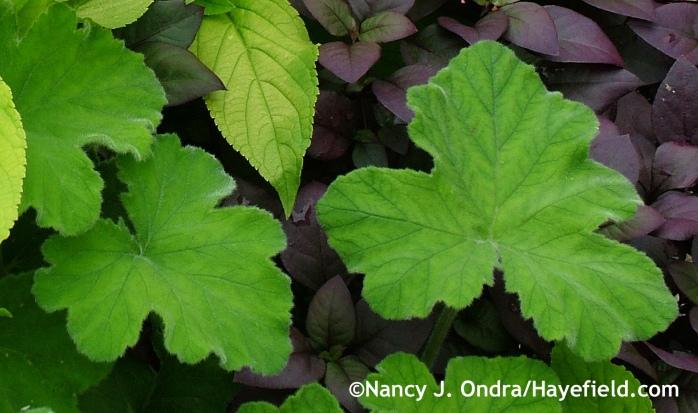 Pelargonium tomentosum foliage at Hayefield.com