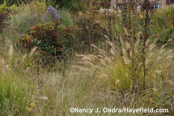 Pennisetum alopecuroides in the meadow at Hayefield.com