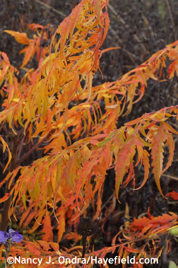 Rhus typhina Laciniata fall color at Hayefield.com