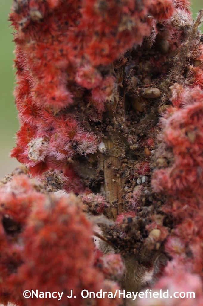 Rhus typhina Laciniata opened seedhead at Hayefield.com