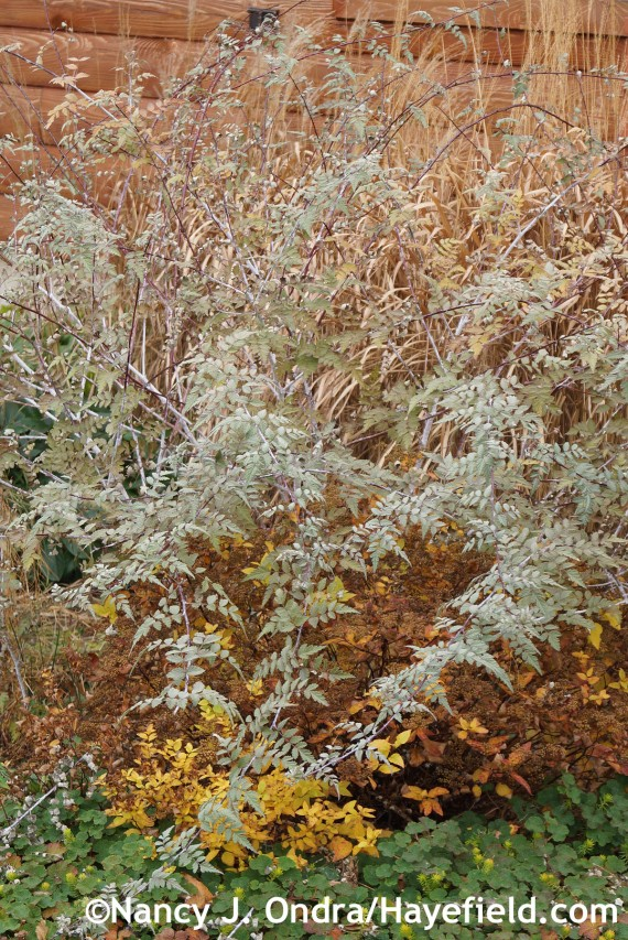 Rubus thibetanus foliage at Hayefield.com