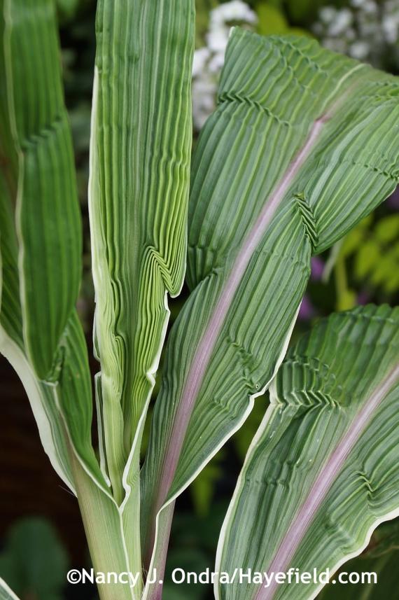 Setaria palmata Variegata at Hayefield.com