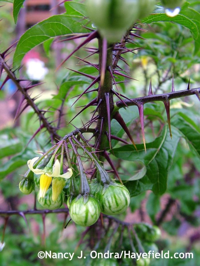 Solanum atropurpureum flowers and fruits at Hayefield.com