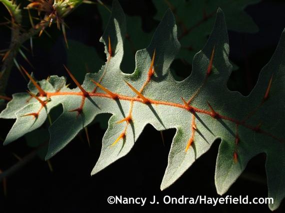 Solanum pyracanthum at Hayefield.com