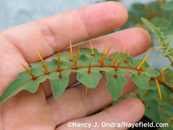 Solanum pyracanthum leaf at Hayefield.com