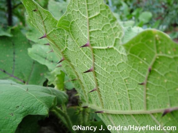 Solanum quitoense leaf underside at Hayefield.com