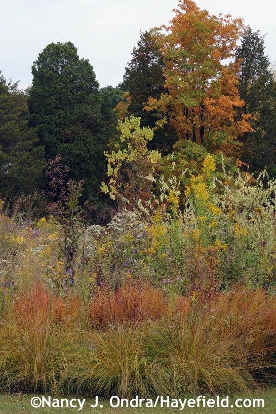 Sporobolus heterolepis Amsonia hubrichtii and Solidago at Hayefield.com