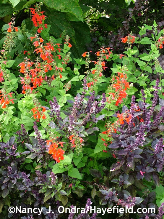 'Osmin' basil (Ocimum basilicum) with 'Lady in Red' Texas sage (Salvia coccinea) at Hayefield.com