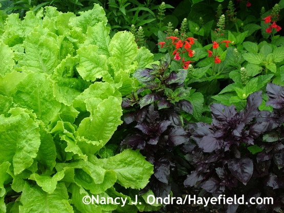 'Red Rubin' basil (Ocimum basilicum) with 'Australian Yellow' lettuce and 'Lady in Red' Texas sage (Salvia coccinea) at Hayefield.com