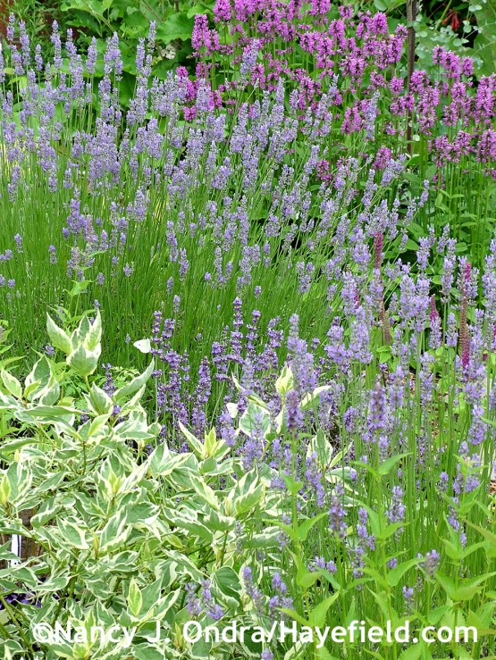 'Provence' lavender (Lavandula x intermedia) with 'Hummelo' betony (Stachys), 'Black Adder' anise hyssop (Agastache), and Creme de Mint Tatarian dogwood (Cornus alba 'Crimzam') at Hayefield.com