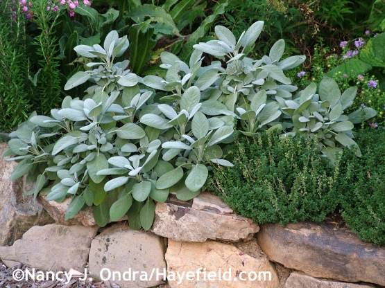 'Berggarten' sage (Salvia officinalis) with lemon thyme (Thyme citriodorus) at Hayefield.com