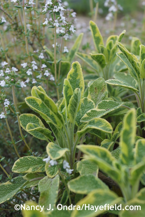 Golden variegated sage (Salvia officinalis 'Icterina') with common thyme (Thymus vulgaris) at Hayefield.com