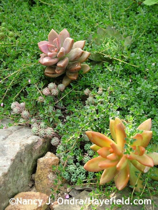 Creeping thyme (Thymus praecox Coccineus Group) with Spanish stonecrop (Sedum hispanicum), coppertone stonecrop (S. nussbaumerianum), and 'Bronze' graptosedum (x Graptosedum) at Hayefield.com