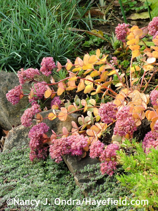 Woolly thyme (Thymus pseudolanuginosus) with October daphne (Sedum sieboldii) at Hayefield.com