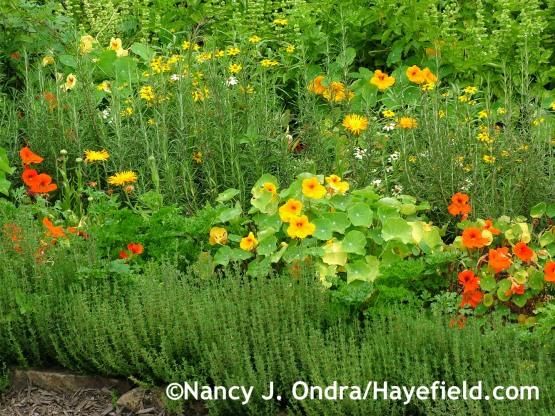 Common thyme (Thymus vulgaris) with nasturtiums (Tropaeolum majus), pot marigolds (Calendula officinalis), and rosemary (Rosmarinus officinalis) at Hayefield.com