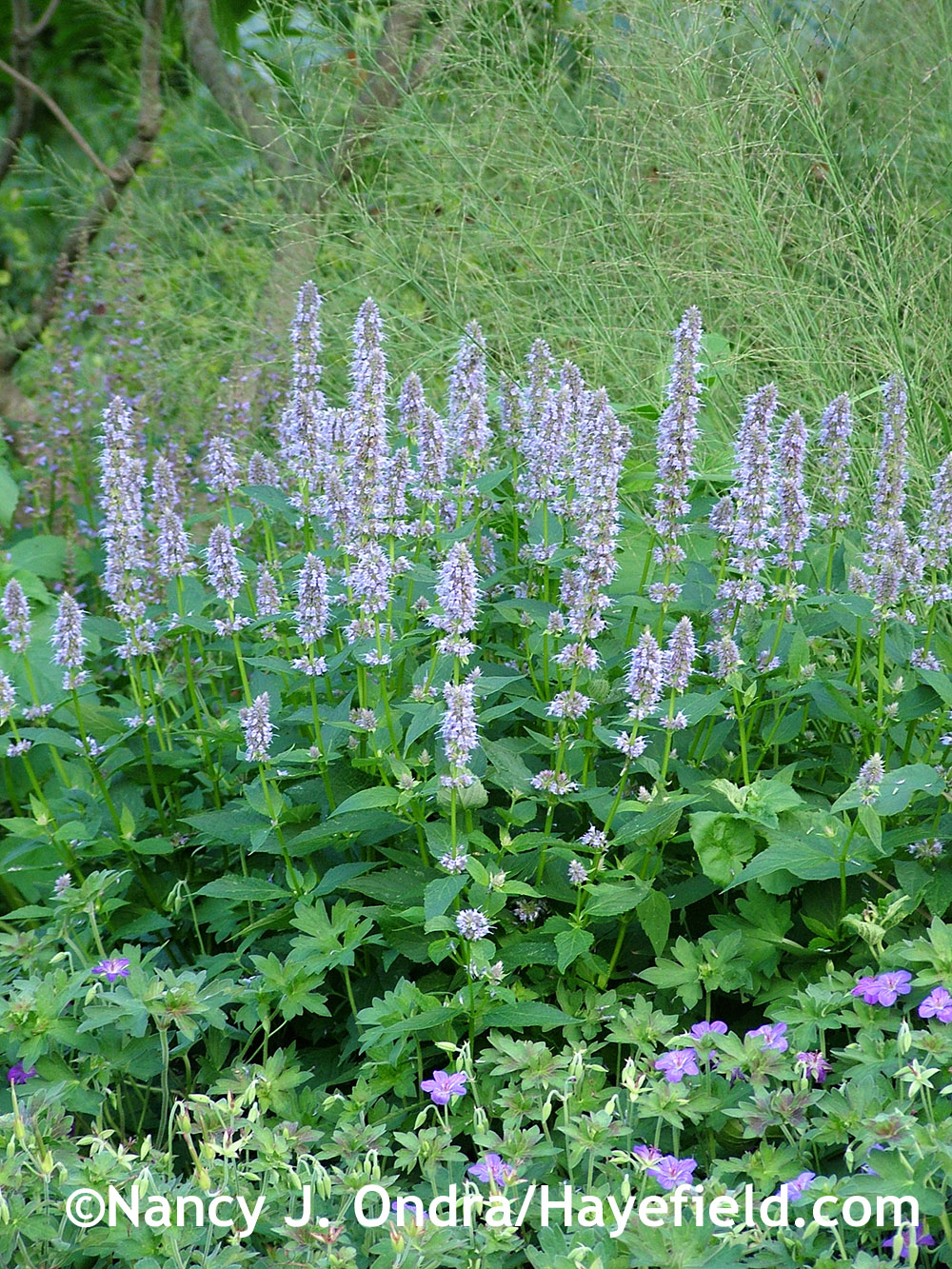'Blue Fortune' anise hyssop