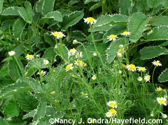 Roman chamomile (Chamaemelum nobile) with 'Dali Marble' burnet (Sanguisorba) at Hayefield.com