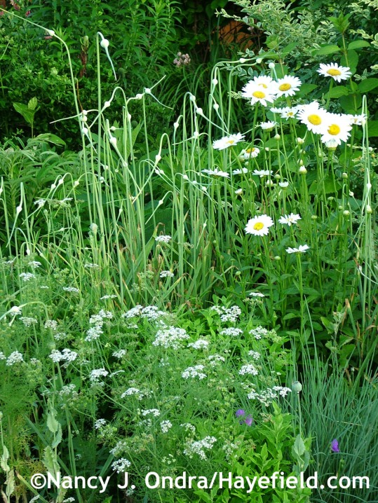Cilantro (Coriandrum sativum) with garlic (Allium sativum) and 'Becky' Shasta daisy (Leucanthemum) at Hayefield.com
