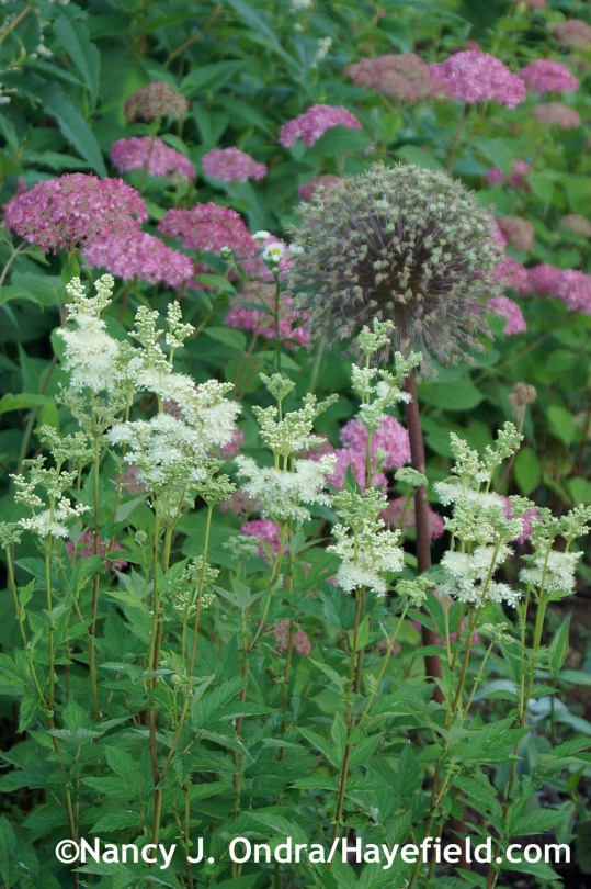 Meadowsweet (Filipendula ulmaria) with 'Ambassador' allium and Invincibelle Spirit Hydrangea (Hydrangea aborescens 'NCHA1') at Hayefield.com