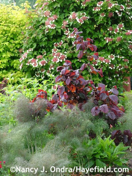 Bronze fennel (Foeniculum vulgare 'Purpureum') with 'Red Majestic' contorted hazel (Corylus avellana) and 'Onondaga' Sargent viburnum (Viburnum sargentii) at Hayefield.com