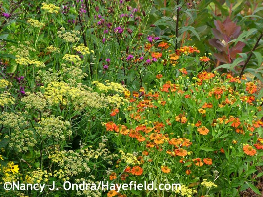 Bronze fennel (Foeniculum vulgare 'Purpureum') with 'Coppelia' sneezeweed (Helenium) and New York ironweed (Vernonia noveboracensis) at Hayefield.com
