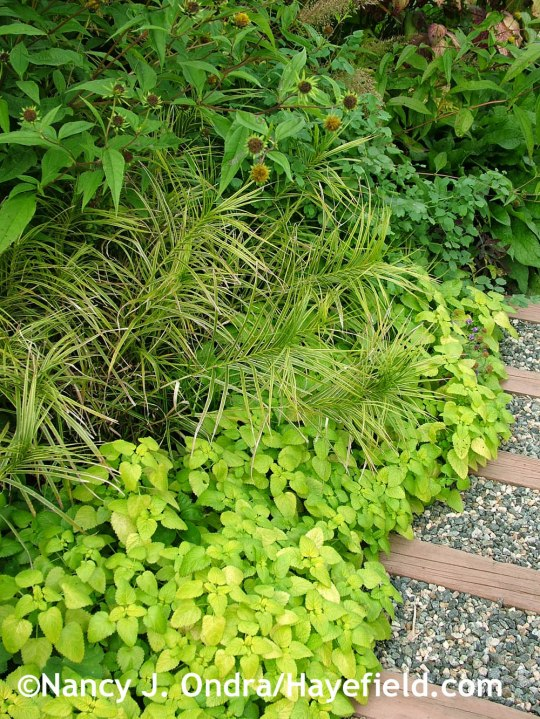 'All Gold' lemon balm (Melissa officinalis) with 'Oehme' palm sedge (Carex muskingumensis) and the seedheads of 'Lemon Queen' perennial sunflower (Helianthus) at Hayefield.com