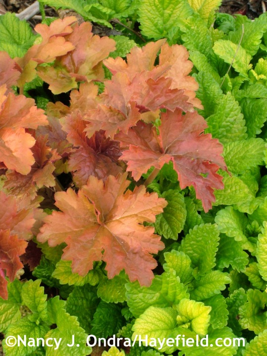 'All Gold' lemon balm (Melissa officinalis) with 'Creme Brulee' heuchera at Hayefield.com
