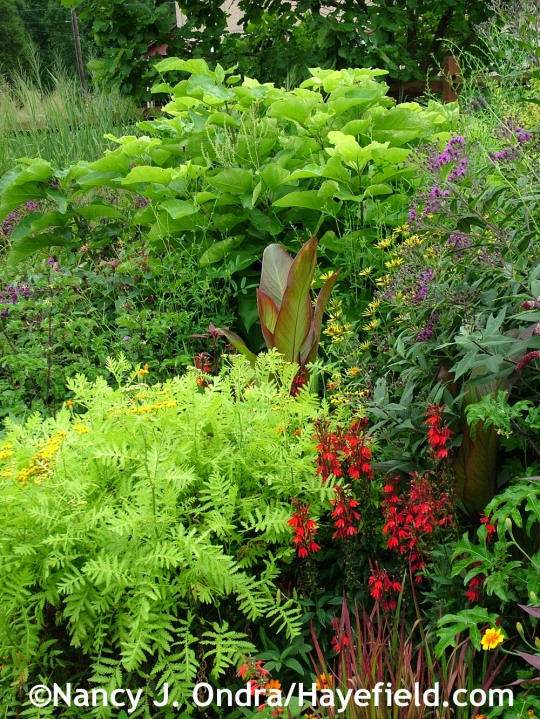 'Isla Gold' tansy (Tanacetum vulgare) with cardinal flower (Lobelia cardinalis), giant ironweed (Vernonia gigantea), Canna indica 'Purpurea', and golden catalpa (Catalpa bignonioides 'Aurea') at Hayefield.com