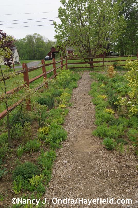 Aster Path May 2014 at Hayefield.com