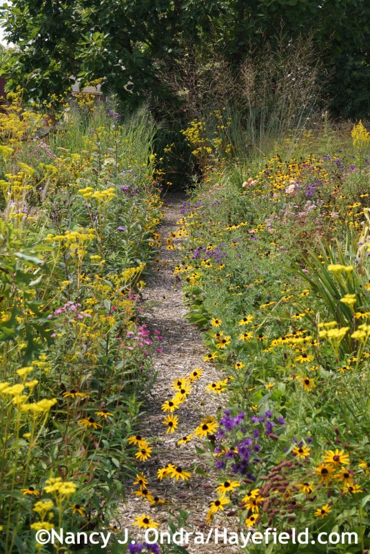 Aster Path September 2014 at Hayefield.com