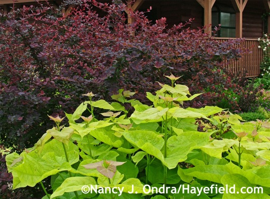 Berberis × ottawensis f. purpurea 'Superba' and Catalpa bignonioides Aurea at Hayefield.com