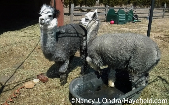 Alpacas in the sprinkler at Hayefield