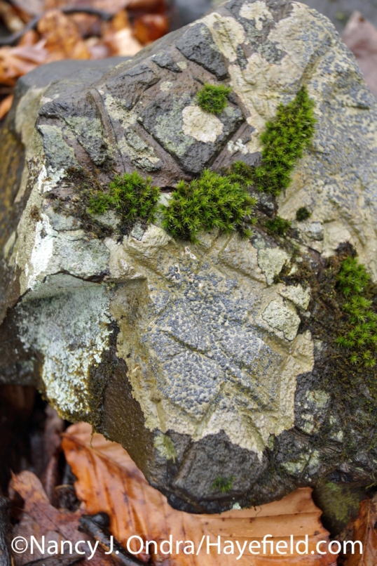 Etched hornfels with lichen and moss - Milford Township, PA