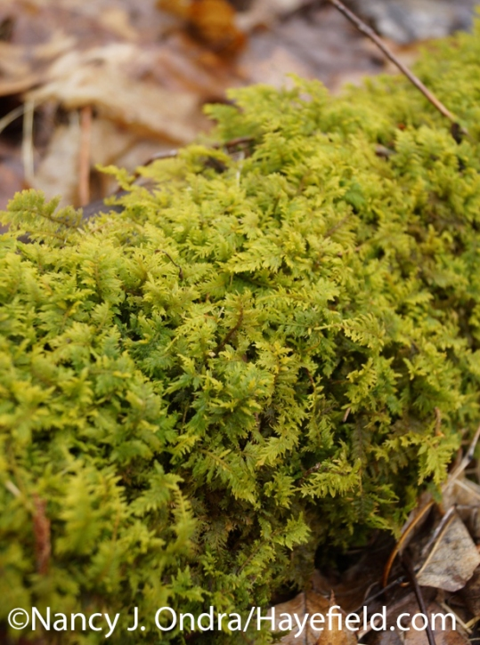Fern Moss (Thiudium) - Mildford Township, PA