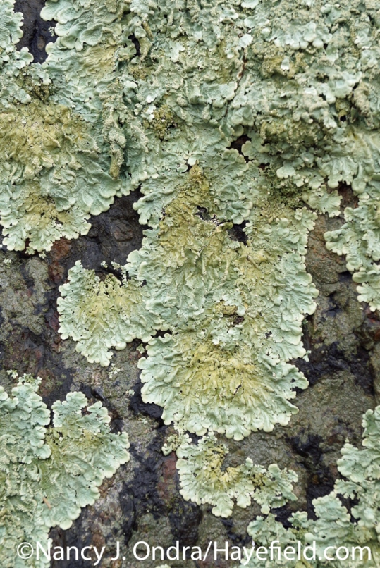 Greenshield Lichen - Milford Township, PA