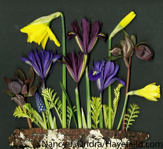 'February Gold' daffodils, reticulated irises (Iris reticulata), Lenten roses (Helleborus x hybridus), grape hyacinth (Muscari), and 'Isla Gold' tansy (Tanacetum vulgare) at Hayefield.com