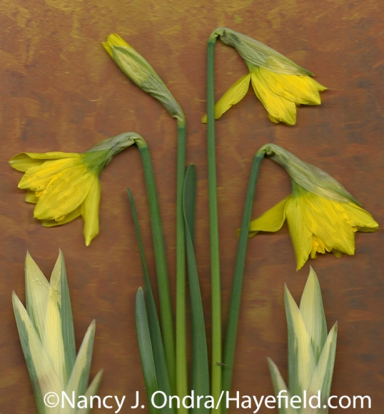 'February Gold' daffodil with variegated sweet iris (Iris pallida 'Variegata') at Hayefield.com