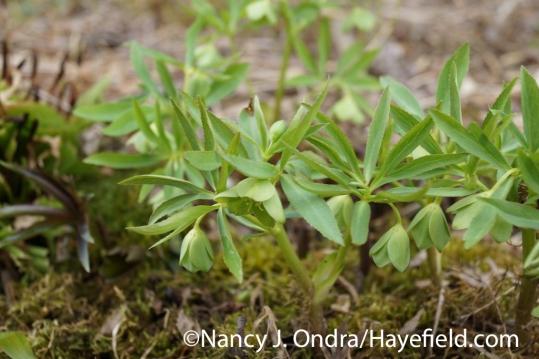 Green hellebore (Helleborus viridis) at Hayefield