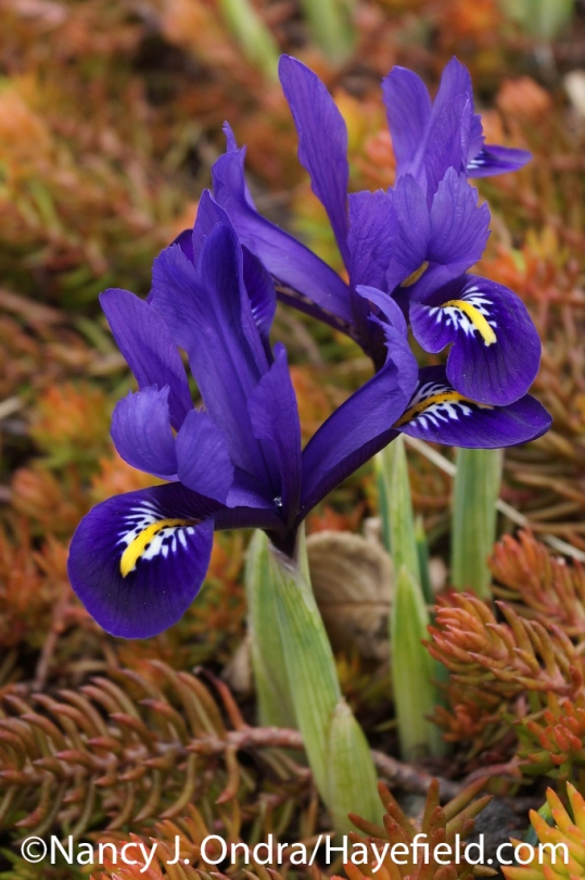 Reticulated iris (Iris reticulata) with 'Angelina' sedum (Sedum rupestre) at Hayefield.com