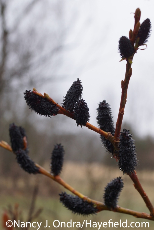 black pussy willow (Salix gracilistyla 'Melanostachys') at Hayefield