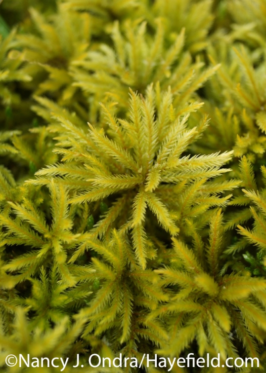 Tree Moss (Climacium) - Milford Township, PA