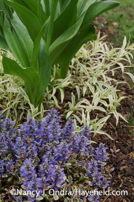 Ajuga reptans Dixie Chip with Phlox pilosa Triple Play and Colchicum autumnale 'Nancy Lindsay' at Hayefield.com